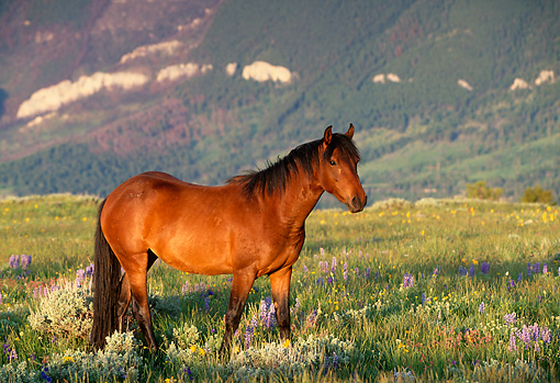HOR 01 LS0003 01 © Kimball Stock Bay Wild Horse Stallion Walking In Field In Mountains