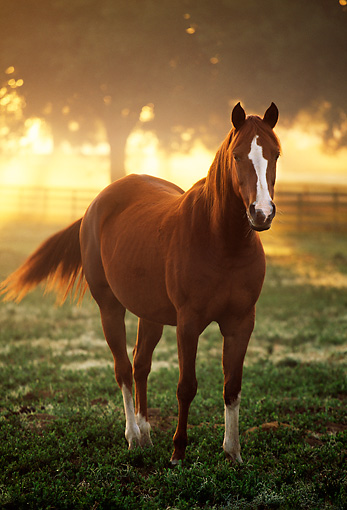 HOR 01 LS0004 01 © Kimball Stock Portrait Of Chestnut Arabian Horse Walking Towards Camera At Dusk