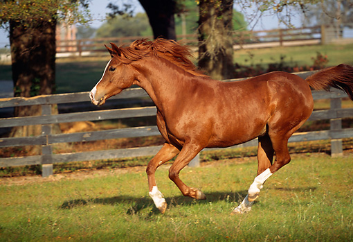 HOR 01 LS0005 01 © Kimball Stock Chestnut Arabian Stallion Cantering In Corral
