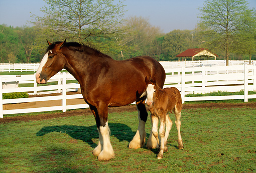 HOR 01 LS0007 01 © Kimball Stock Clydesdale Mare And Foal Standing In Corral Trees Blue Sky