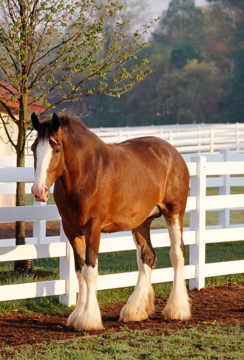HOR 01 LS0008 01 © Kimball Stock Portrait Of Clydesdale Standing By Fence Trees