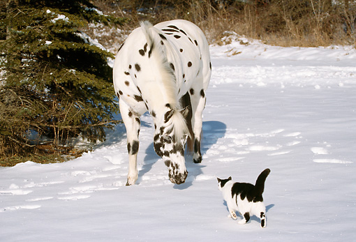 HOR 01 LS0011 01 © Kimball Stock Cat Approaching Appaloosa Standing On Snow By Trees