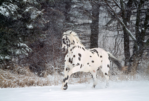HOR 01 LS0012 01 © Kimball Stock Appaloosa Cantering On Snow By Trees