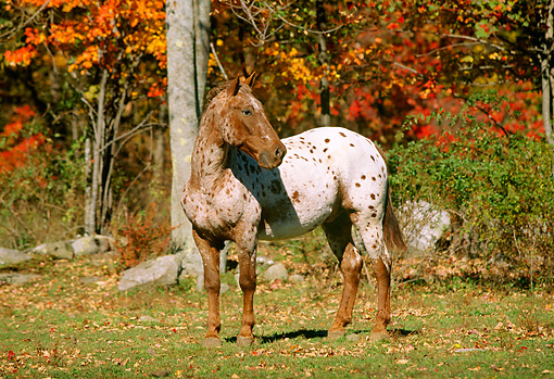 HOR 01 LS0013 01 © Kimball Stock Appaloosa Standing On Grass By Autumn Trees