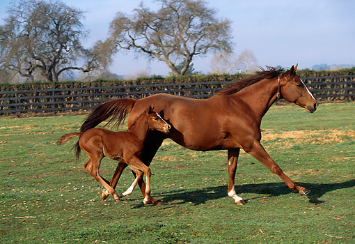 HOR 01 LS0017 01 © Kimball Stock Chestnut Thoroughbred Mare And Foal Galloping In Corral