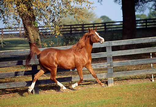 HOR 01 LS0018 01 © Kimball Stock Chestnut Arabian Horse Trotting In Corral