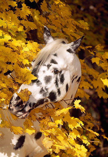 HOR 01 LS0020 01 © Kimball Stock Head Shot Of Appaloosa Standing By Autumn Trees