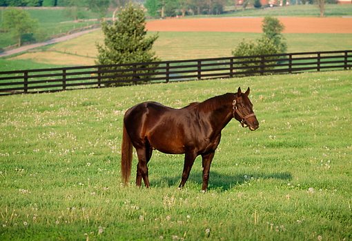 HOR 01 LS0021 01 © Kimball Stock Brown Thoroughbred Horse Standing In Field