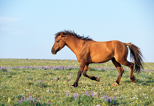 HOR 01 LS0023 01 © Kimball Stock Profile Of Dun Wild Horse Stallion Trotting In Field Blue Sky
