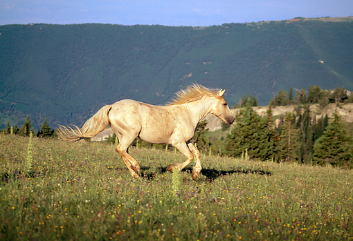 HOR 01 LS0026 01 © Kimball Stock Gray Wild Horse Stallion Galloping In Field In Mountains
