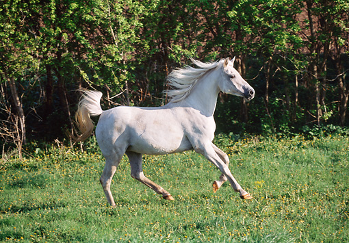 HOR 01 LS0029 01 © Kimball Stock Gray Arabian Mare Cantering In Field By Shrubs