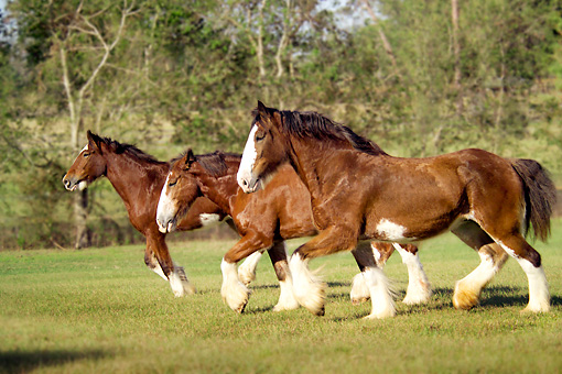 HOR 01 MB0002 01 © Kimball Stock Three Clydesdale Draft Horse Mares Trotting In Pasture