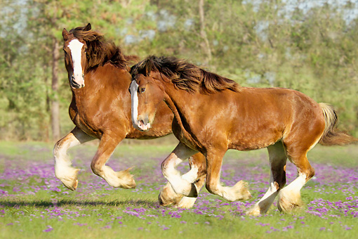 HOR 01 MB0003 01 © Kimball Stock Two Clydesdale Draft Horse Mares Cantering In Pasture With Purple Flowers