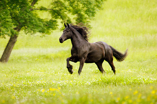 HOR 01 MB0005 01 © Kimball Stock Friesian Horse Mare Cantering In Pasture
