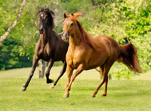 HOR 01 MB0007 01 © Kimball Stock Two Paso Fino Mares Cantering In Pasture