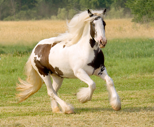 HOR 01 MB0008 01 © Kimball Stock Gypsy Vanner Horse Mare Cantering In Pasture