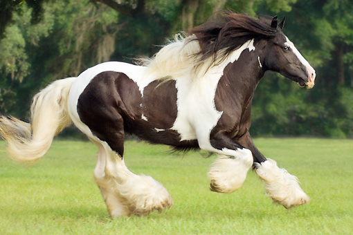 HOR 01 MB0011 01 © Kimball Stock Gypsy Vanner Horse Mare Cantering In Pasture