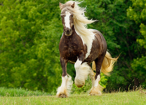 HOR 01 MB0012 01 © Kimball Stock Gypsy Vanner Horse Mare Trotting In Pasture