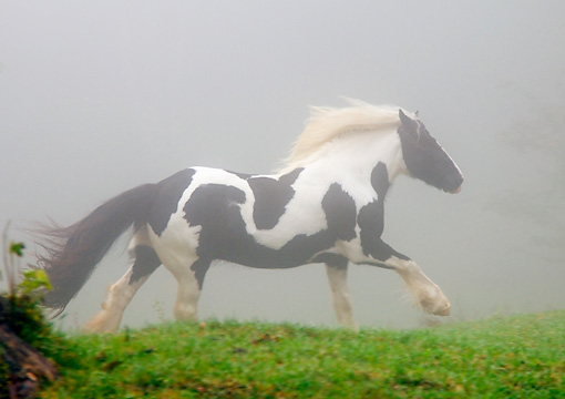 HOR 01 MB0013 01 © Kimball Stock Gypsy Vanner Horse Mare Cantering In Pasture In Fog