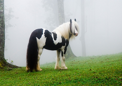 HOR 01 MB0014 01 © Kimball Stock Gypsy Vanner Horse Mare Standing In Pasture In Fog