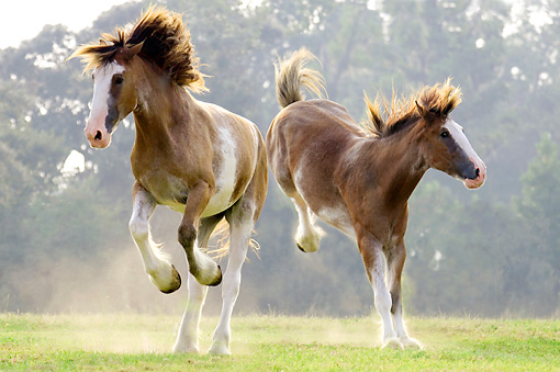 HOR 01 MB0015 01 © Kimball Stock Two Clydesdale Draft Horses Running And Bucking In Pasture