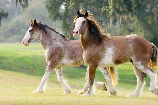 HOR 01 MB0016 01 © Kimball Stock Two Clydesdale Draft Horses Trotting In Pasture