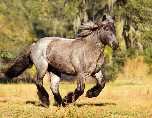 HOR 01 MB0017 01 © Kimball Stock Blue Roan Brabant Draft Horse Filly Cantering In Pasture