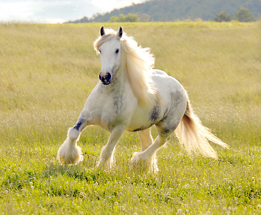 HOR 01 MB0019 01 © Kimball Stock Gypsy Vanner Horse Mare Trotting In Pasture
