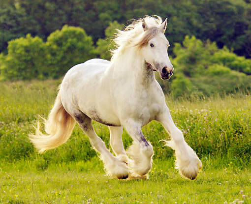HOR 01 MB0020 01 © Kimball Stock Gypsy Vanner Horse Mare Cantering In Pasture