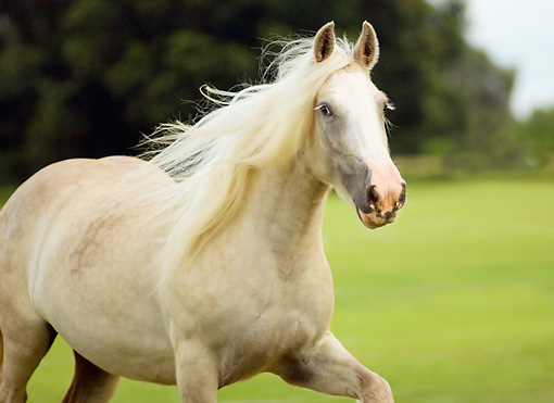 HOR 01 MB0022 01 © Kimball Stock Gypsy Vanner Horse Mare Trotting In Pasture