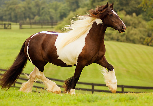 HOR 01 MB0025 01 © Kimball Stock Gypsy Vanner Horse Mare Trotting In Pasture