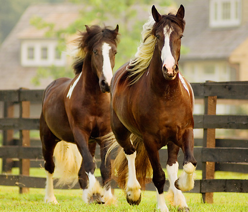 HOR 01 MB0030 01 © Kimball Stock Two Gypsy Vanner Fillies Trotting In Pasture By Fence