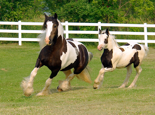 HOR 01 MB0031 01 © Kimball Stock Gypsy Vanner Mare And Foal Trotting In Pasture By Fence
