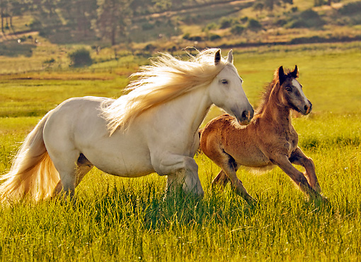 HOR 01 MB0033 01 © Kimball Stock Gypsy Vanner Mare And Foal Cantering In Pasture