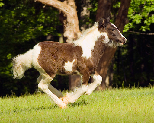 HOR 01 MB0037 01 © Kimball Stock Gypsy Vanner Foal Cantering In Pasture By Trees