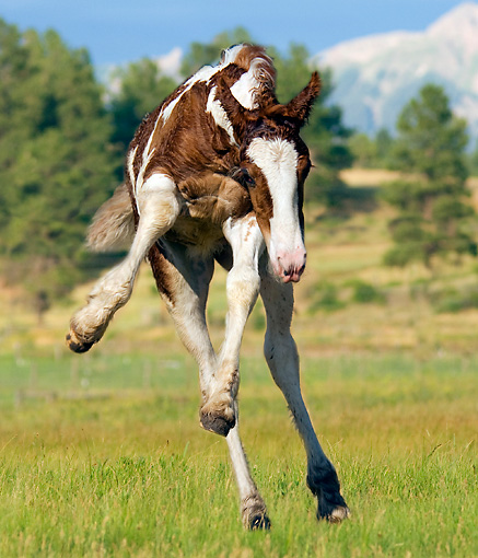 HOR 01 MB0039 01 © Kimball Stock Gypsy Vanner Foal Romping In Pasture