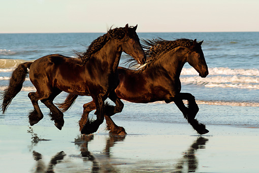 HOR 01 MB0044 01 © Kimball Stock Two Friesian Horses Galloping On Beach By Ocean