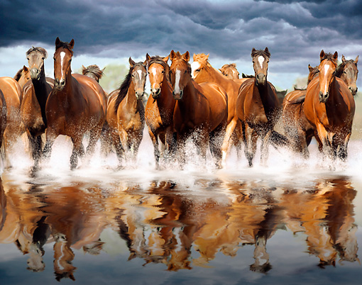 HOR 01 MB0045 01 © Kimball Stock Herd Of Mares Trotting In Shallow Water Toward Camera