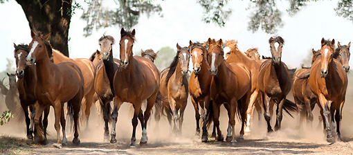 HOR 01 MB0046 01 © Kimball Stock Herd Of Mares Trotting Toward Camera By Tree