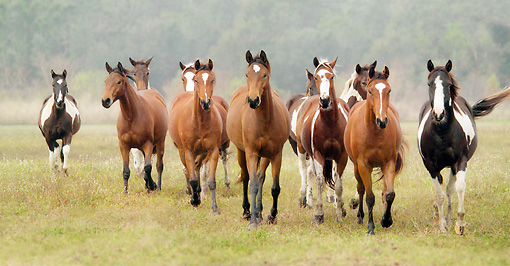 HOR 01 MB0047 01 © Kimball Stock Herd Of American Paint Horse Mares Walking Toward Camera In Field