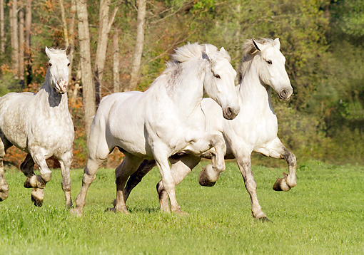 HOR 01 MB0048 01 © Kimball Stock Three Gray Percheron Draft Horses Galloping In Field By Trees