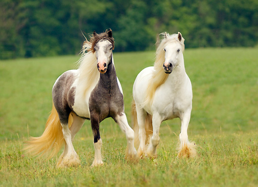 HOR 01 MB0050 01 © Kimball Stock Two Gypsy Vanner Horses Trotting In Field