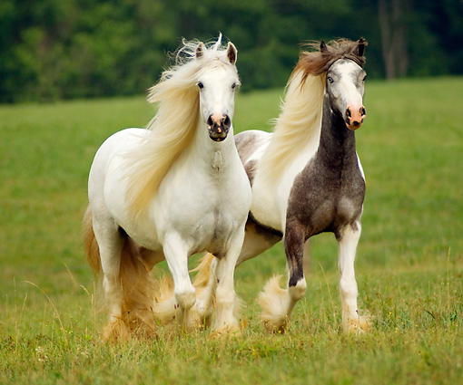 HOR 01 MB0050 02 © Kimball Stock Two Gypsy Vanner Horses Trotting In Field