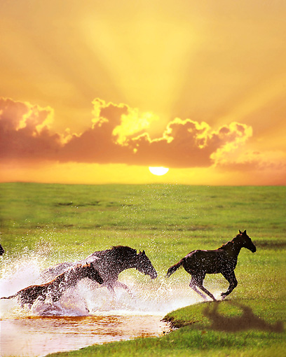 HOR 01 MB0052 01 © Kimball Stock Thoroughbred Mare And Foals Galloping Through Pond By Green Field At Sunset