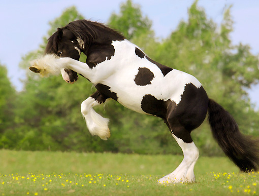 HOR 01 MB0054 01 © Kimball Stock Gypsy Vanner Stallion Rearing In Field By Trees