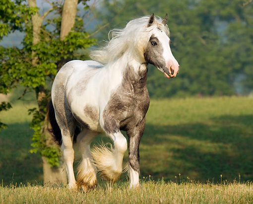 HOR 01 MB0055 01 © Kimball Stock Gypsy Vanner Colt Trotting In Field By Trees