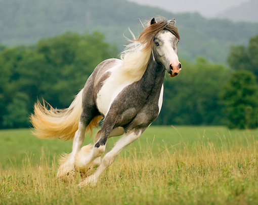HOR 01 MB0056 01 © Kimball Stock Gypsy Vanner Filly Cantering In Field By Trees
