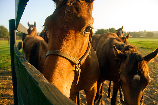 HOR 01 MB0059 01 © Kimball Stock Thoroughbred Horses Standing Along Fence
