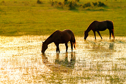 HOR 01 MB0060 01 © Kimball Stock Silhouette Of Two Horses Drinking From Pond By Field
