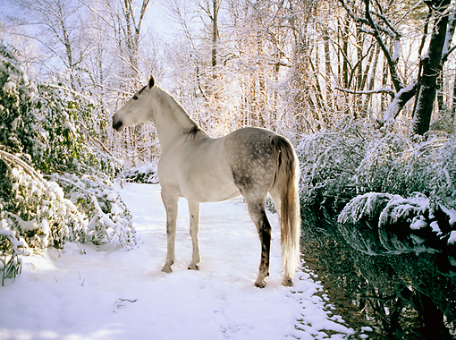HOR 01 MB0062 01 © Kimball Stock Gray Andalusian Mare Standing On Snow By Stream Trees